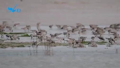 厦门迎来大批冬候鸟 珍稀品种亮相翔安滩涂